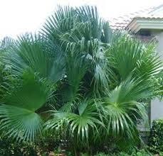 fan palm trees. beautiful chinese fan palm tree trees
