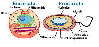 Resultado de imagen de células procariotas y eucariotas