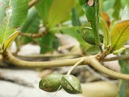 Fruit Tree Identification Chart Terminalia Catappa Wikipedia