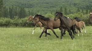 horses galloping in a field. Plain Galloping Slow Motion Shot Of A Beautiful Horses Galloping Across The Field In Summer  Stock Video Footage  Videoblocks Throughout Horses Galloping In A Field