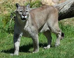 Puma – Wikipedia