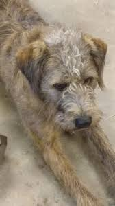 wire haired terrier mix. Modren Wire REUNITED Dog In Greenbrier Faulkner Brindle Wire Haired Terrier Mix U2013  Radagast And Mix E