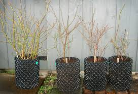 winter jobs air pot gardener one job i did do was to pot on three small blueberry bushes into 7 5 litre pots because the older bush pictured on the left i had in an air pot container