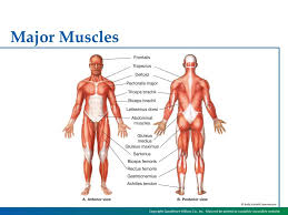A lot of students come to me for help because they have troubles learning the names of skeletal muscles of the human muscular system. Chapter 3 The Muscular System Chapter 3 The Muscular System Ppt Download