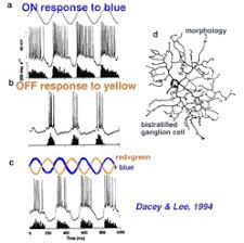 s cone pathways by helga kolb webvision fig 10 blue on yellow off chromatic ganglion cell in monkey retina a alternating blue and dark stimuli evoke on responses b alternating yellow and