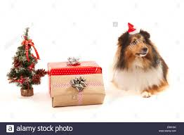 shetland sheepdog with gifts and tree over white background