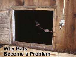Why Bats Become a Problem and What is a Bat Exclusion? – Bat ...