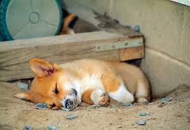 corgi puppy sleeping. Unique Sleeping KimballStock_PUP 30 CE0022 01_preview With Corgi Puppy Sleeping R