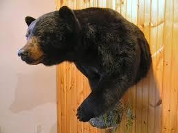 bear taxidermy shoulder mounts pa