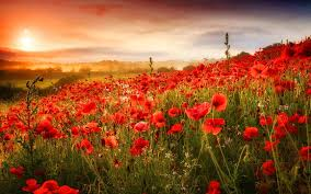 grass field background with flowers. Fields - Poppy Field Flowers Sunrise Grass Poppies Sunset Clouds Sky Beautiful Wallpaper Pictures Free For Background With