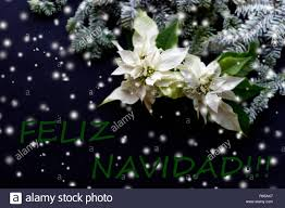 Weißer Weihnachtsstern Blume Mit Tannenbaum Auf Dunklem
