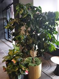 Coffee plants grow well in containers and, surprisingly, indoors as well. Per Request A More Mature Coffee Plant Inside The Starbucks Headquarters In Seattle Look Its Growing Cherries Indoorgarden