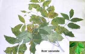 the boxelder or ash leaved maple found along streams used for a shade tree no great value boxelder bugs sometimes a nuisance 6
