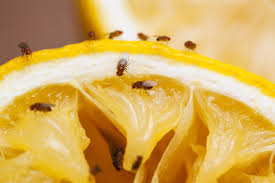 Small Flies In Kitchen How To Control And Treat Fruit Flies Pest Control Chemicals 800