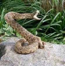 rattlesnake head striking. Perfect Rattlesnake Rattlesnake Striking At Camera Images U0026 Pictures  Becuo To Head E
