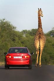 car insurance quote and auto insurance quote website african safari giraffe picture by
