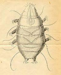 tardigrade actual size tardigrade wikipedia