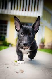 corgi lab mix puppies. Modren Mix With Corgi Lab Mix Puppies C