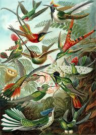 2017 Hummingbird Migration Chart Hummingbird Wikipedia