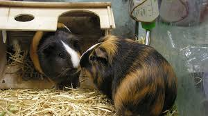 caring for your guinea pig in winter