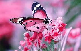 HD Butterfly Wallpapers - Top Free HD ...