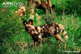 wild animals in african forest.  African African Wild Dog For Wild Animals In Forest G