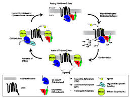 Gpcr Signaling G Protein Coupled Receptor Wikipedia