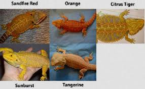 Bearded Dragon Feeding Chart By Age