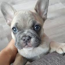 french bulldog puppy fawn. Perfect Puppy A Lilac Fawn French Bulldog Puppy With Grey Eyes So Beautiful Throughout Puppy L