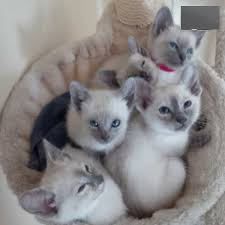 4 beautiful 1st gen tonkinese for mum tonkinese burmese varient dad siamese both pas are family pets 3 s and 2 boys s 1x tortie blue
