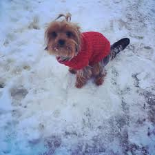 tips on how to train a yorkshire terrier to and poo outside and how to potty train a yorkie