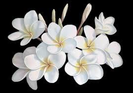 fleur jasmin