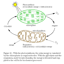 Venn Diagram Of Mitochondria And Chloroplasts Cell Energy Photosynthesis Diagram Wiring Diagram