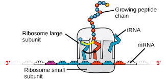 Structure Of Nucleic Acids Biology For Majors I