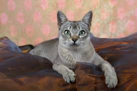 for an abyssinian kitten but she s not she s a singapura a natural breed in her own right plucked from the streets of singapore and occupying homes