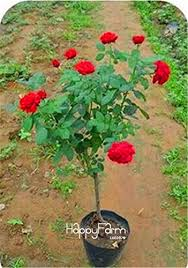 flower tree pictures. Fine Flower Lowest Price100 SEEDS  Genuine Fresh Rare Rosa Chinensis Dendroidal ROSE Flower  Tree Seeds4N4O7F 14 With Pictures E