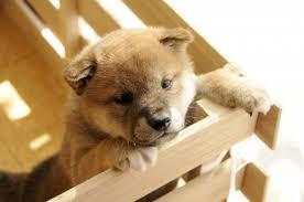 「フリー素材 子犬」の画像検索結果
