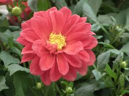 file dahlia from lalbagh flower show august 2016 4622 jpg