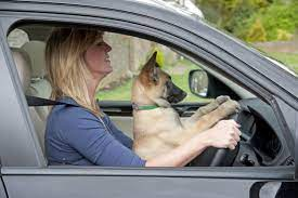 Is it Illegal to Drive With a Pet in your Lap in Michigan? | State Driving  Laws | Christopher Trainor & Associates