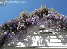 wisteria explodes late march in our neighborhood making it look pretty much like the set of desperate housewives this is not my house ours is around the