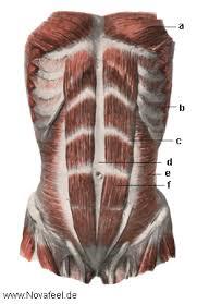 anatomie bauch