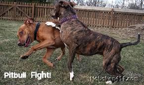 pitbull terrier fight. Exellent Pitbull Pitbull Fights Inside Terrier Fight
