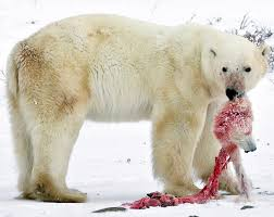 polar bears are cannibals and eat their baby young who knew  polar bears are cannibals and eat their baby young who knew