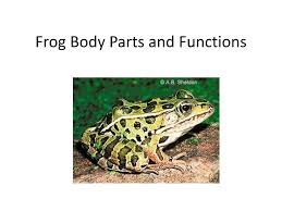 Parts Of A Frog Ppt Frog Body Parts And Functions Powerpoint Presentation Id 1266919