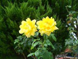 photography images yellow roses hd wallpaper and background photos