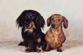 How To Care For A Miniature Dachshund Puppy Pets