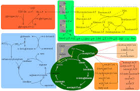 Metabolic Pathways Chart A General Overview Of The Major Metabolic Pathways