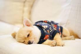sleepy pomeranian wearing t shirt