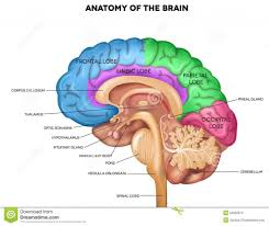 internal brain diagram hypothalamus diy enthusiasts wiring diagrams \u2022 msh brain wiring diagram internal brain diagram hypothalamus auto electrical wiring diagram u2022 rh wiringdiagramcenter today brain diagram cerebrum brain