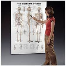 Skeletal System Giant Anatomical Chart